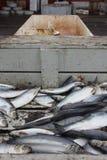 准备好的鲱鱼被浸盐水,冰岛 免版税图库摄影