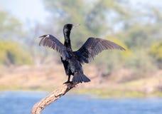 准备好的鸟从树分支飞行 免版税库存图片