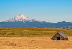 准备好的麦子在中央俄勒冈收获 库存图片