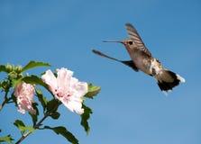 准备好红宝石红喉刺莺的蜂鸟提供 库存图片
