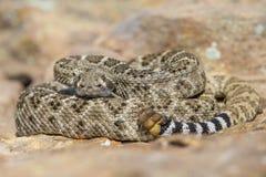 准备好菱纹背响尾蛇的响尾蛇触击 库存图片