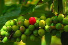 准备好豆的咖啡成熟 免版税库存照片