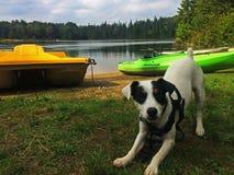 准备好逗人喜爱的小狗在湖使用-尾随肢体语言 库存图片