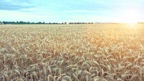 准备好金黄的麦子被收获 股票录像