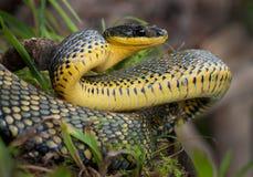准备好鸟的蛇攻击 库存图片
