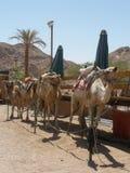 准备徒步旅行队的骆驼 库存图片