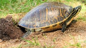 沿海黑鸭乌龟 免版税库存照片