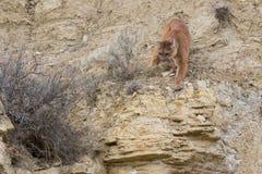准备的美洲狮飞跃在牺牲者 免版税库存图片