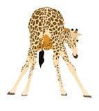 准备的长颈鹿的画象喝 皇族释放例证