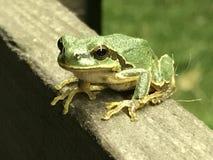 准备的青蛙跳跃 库存图片