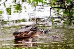 准备的鳄鱼联接在水,佛罗里达中 库存图片