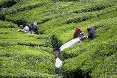 准备茶的收获叶子对工作者 免版税库存照片