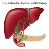 准确性胆汁被标记的非passges课本v 库存图片