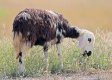 凉快的中间西部山羊吃一棵草 图库摄影