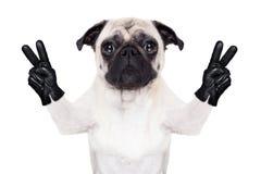 凉快的哈巴狗狗 库存图片