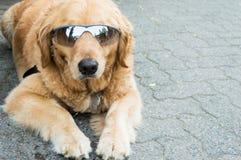 凉快的狗佩带的太阳镜 免版税库存图片