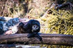 凉快的猴子坐木头 免版税图库摄影