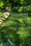 凉快,平静的舒展与鸭子的水在伦敦沼泽地中心 图库摄影