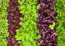 凉拌生菜,在小的传单的品种 宏指令 免版税库存照片