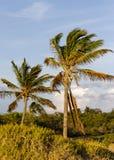 凉爽的微风吹的可可椰子在夏威夷 免版税图库摄影