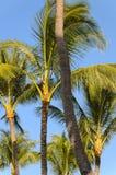 凉爽的微风吹的可可椰子在夏威夷 免版税库存图片