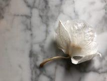 凋枯的兰花芽 库存图片