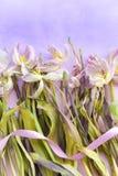 凋枯的嫩桃红色郁金香和扭转的丝带反对紫色梯度颜色背景 文本的空间 明信片模板 Mo 免版税库存照片