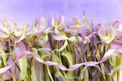 凋枯的嫩桃红色郁金香和扭转的丝带反对紫色梯度颜色背景 文本的空间 明信片模板 Mo 免版税库存图片