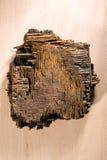 凋枯的木头片断  免版税库存图片