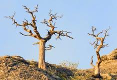 凋枯的杜松结构树 免版税库存图片