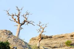凋枯的杜松结构树 库存照片