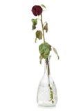 凋枯的查出的红色玫瑰 免版税图库摄影