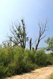 凋枯的树 免版税图库摄影