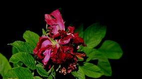 凋枯的桃红色Sose有黑背景 免版税库存照片