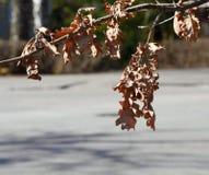 凋枯的橡木叶子 免版税库存照片