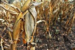 凋枯的玉米 免版税库存照片