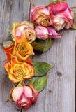 凋枯的玫瑰 库存图片