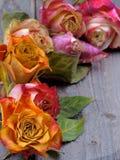凋枯的玫瑰 免版税库存图片