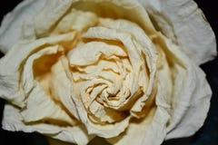 凋枯的白玫瑰 库存照片