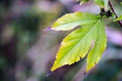 凋枯的绿色秋天叶子 库存图片