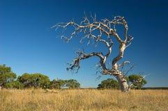 凋枯的老结构树 库存照片