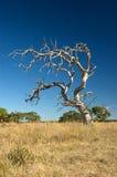 凋枯的老结构树 免版税图库摄影