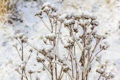 凋枯的花在用冰和雪包括的冬天 免版税库存照片