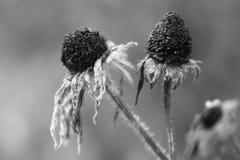 凋枯的花 库存图片