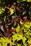 凌霄花Campsis Radicans上升的花黄色秋叶和另一棵上升的植物其他深红叶子  免版税库存图片