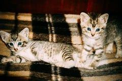减速火箭两只小的平纹的小猫 库存照片