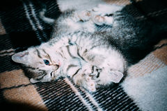 减速火箭两只小的平纹的小猫 免版税库存图片