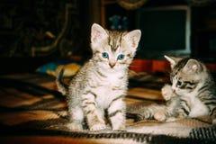 减速火箭两只小的平纹的小猫 图库摄影