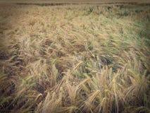 减速火箭的神色大麦的粒领域 免版税库存图片