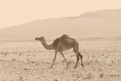 减速火箭的骆驼 库存照片